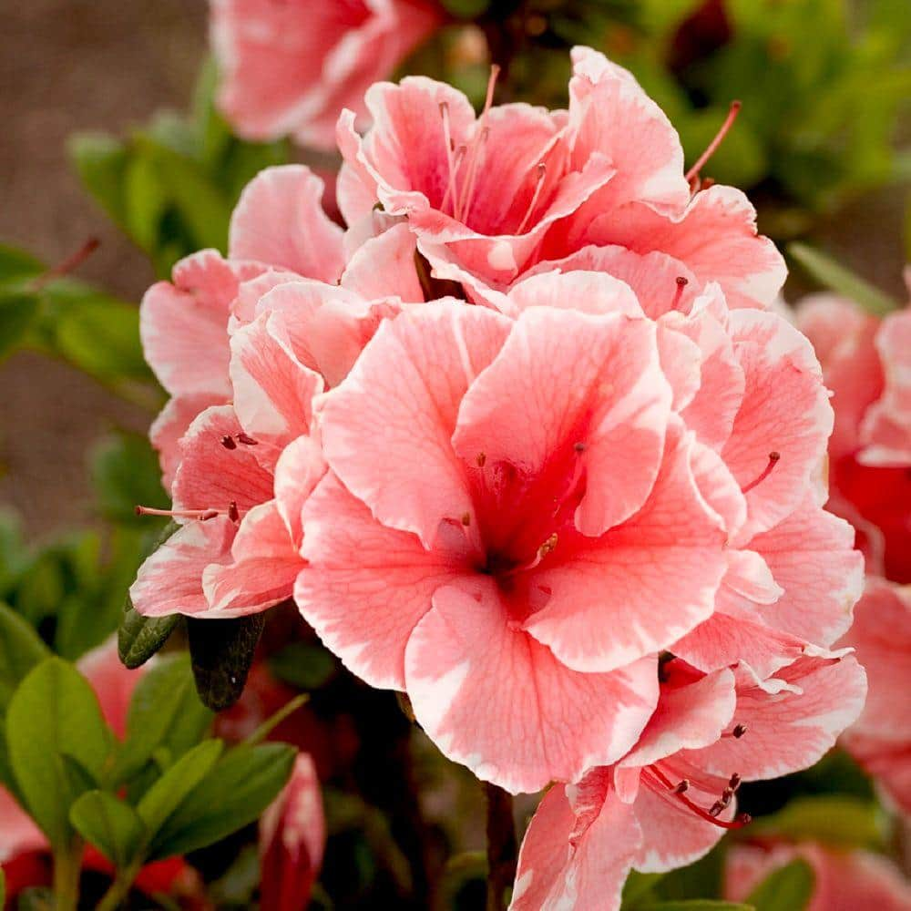 Encore Azalea 1 Gal Autumn Sunburst Encore Azalea Shrub With Bicolor Coral Pink And White Reblooming Flowers 80691 The Home Depot