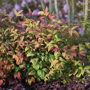 2 Gal. Blush Pink Nandina, Live Evergreen Shrub, Pink to Red Blushing Foliage