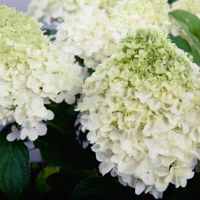 2 Gal. White Wedding Hydrangea Shrub with White Conical Blooms