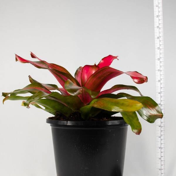 Bromeliad Neoregelia Magali STUNNING RED MOST BEAUTIFUL BROMELIAD