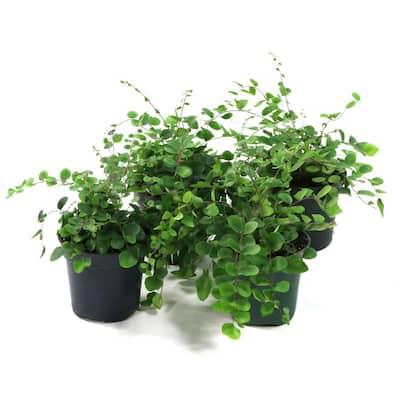 4 in. Button Fern Polystichum Plant in Grower Pot (4 Piece)