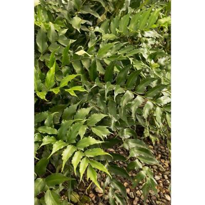 2.5 Qt. Holly Fern in 6.33 In. Grower's Pot (4-Plants)