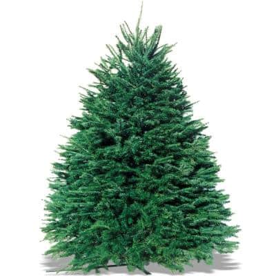 6-7 ft. Freshly Cut Live Pseudotsuga Douglas Fir Christmas Tree