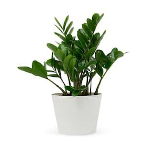1.5 Qt. ZZ Plant Zamioculcas in 6 in. Designer Pot (2-Pack)