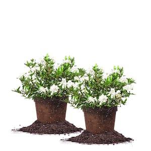 #1 Radican Gardenia Shrub (2-Pack)