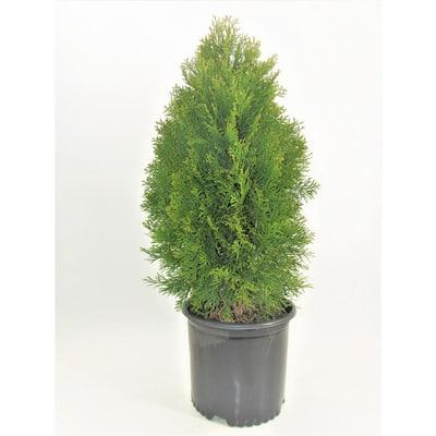 3 Gal. Emerald Green Arborvitae (Thuja) Evergreen Shrub