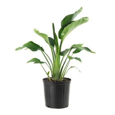10 in. Bird of Paradise Plant with White Blooms