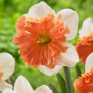 Daffodils 2019 Color of the Year Living Coral Bulbs (Set of 6)