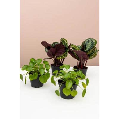 Pet-Friendly 2 Peacock Plant (Calathea roseopicta) and 2 Chinese Money Plant (Pilea peperomioides) in 6 in. Grower Pot