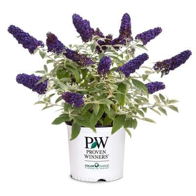 2 Gal. Pugster Blue Buddeia Shrub with True-Blue Flowers