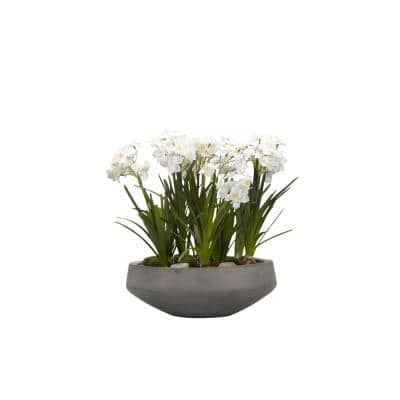 Indoor Paper White Bulbs in Concrete Bowl