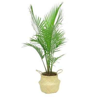 10 in. Majesty Palm Plant in Natural Decor Basket