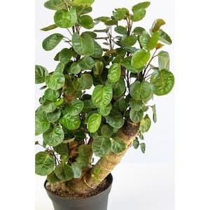 6 in. Fabian Aralia Stump (Polyscias Scutellaria) Plant in Grower Pot