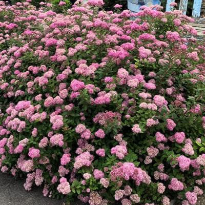 - Huge pyramidal clusters of rose-pink flowers 1 Gal dense spreading green foliage. Anthony Waterer Spirea Shrub