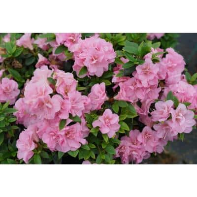 4.5 in. Qt. Perfecto Mundo Double Pink Reblooming Azalea (Rhododendron) Live Shrub, Pink Flowers