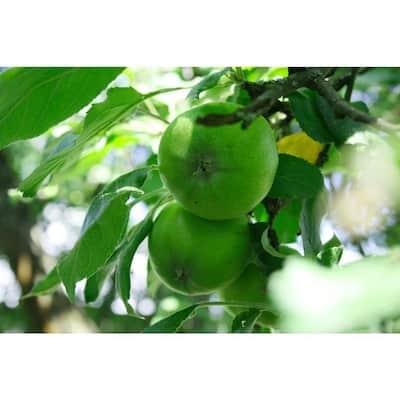 Granny Smith Apple Tree Bare Root