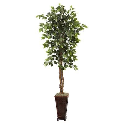 6.5 ft. Ficus with Decorative Planter