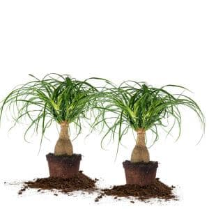 Ponytail Palm 6 in. Pot, (2-Pack)