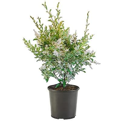 2.25 Gal. Swift Creek Privet Plant with Creamy-White Variegated Leaves