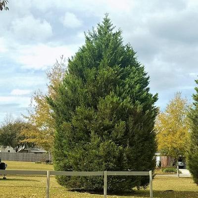 2.5 Qt. Leyland Cypress, Live Evergreen Tree, Rich Green Foliage