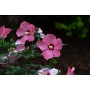 1 Gal. Rouge Paraplu Rose of Sharon (Hibiscus) Live Shrub, Pink-Red Flowers