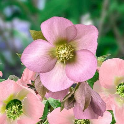 King Single Soft Pink Lenten Rose (Helleborus), Live Perennial Plant with Pink Flowers Grown in a 3 in. Pot (1-Pack)
