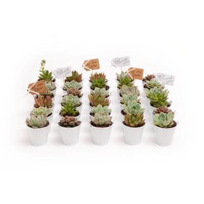 2 in. Wedding Event Rosette Succulents Plant with White Metal Pails and Thank You Tags (60-Pack)