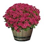 3 Qt. Chrysanthemum (Mum) Plant with Purple Flowers in Whiskey Barrel