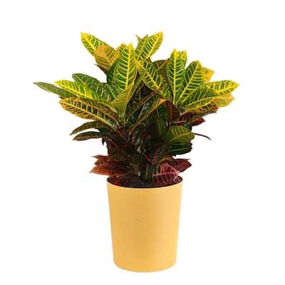 10 in. Croton Plant in Mojave Pot