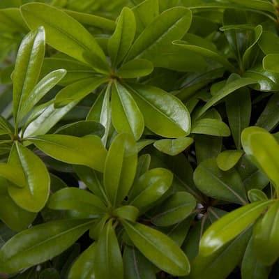 9.25 in. Pot - Green Pittosporum, Evergreen Shrub, Glossy Green Foliage