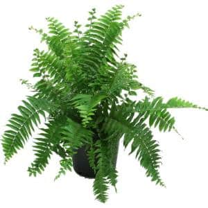 Macho Fern in 8.75 in. Grower Pot