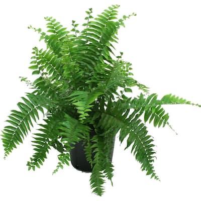 Macho Fern in 8.75 in. Grower Pot