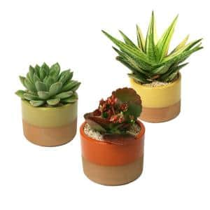 3.5 in. Assorted Succulent Plant in Horizon Deco Pot (3-Pack)