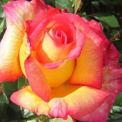 Fragrant Granada Hybrid Tea Rose with Pink And Yellow Blended Flowers