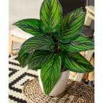 4 in. Calathea Beauty Star Plant in Green Grower Pot (3-Pack)