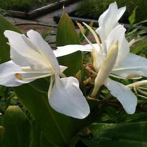 4 in. Butterfly Ginger Potted Bog/Marginal Pond Plant