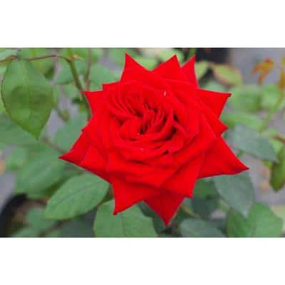 """Package Rose Olympiad Red Flower In 3.5"""" by 12"""" Plastic Package"""
