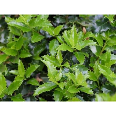 1 Gal. Castle Keep Blue Holly Ilex Live Plant, Green Evergreen Foliage