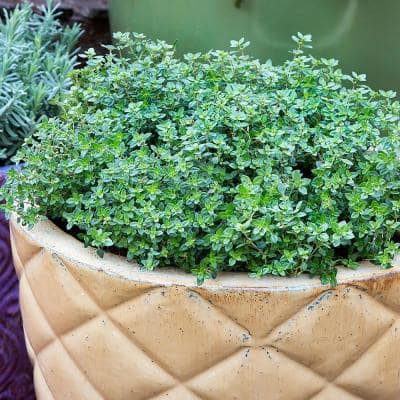 19.3 oz. Lemon Thyme Plant