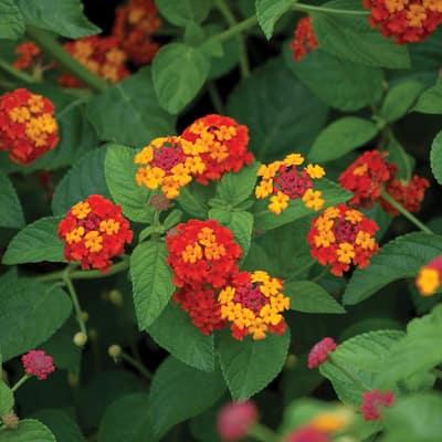 1 Gal. Orange Lantana Plant