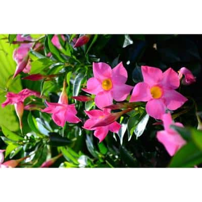 #6 Dipladenia Flowering Annual Shrub with Pink Blooms