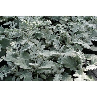 4 in. Dusty Miller Plant (3-Piece)