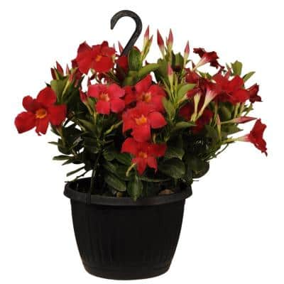 Premium 10 in. Hanging Basket 20 in. to 22 in. Tall Mandevilla Red Blooming Flower Live Outdoor Plant