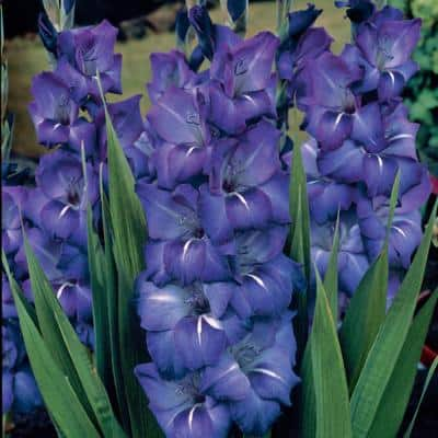 Gladiolus Large Flowering Grande Passion Bulbs (Set of 12)