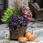 2.5 Qt. Purple Pixie Dwarf Weeping Loropetalum, Groundcover Evergreen Shrub with Purple Foliage, Pink Blooms