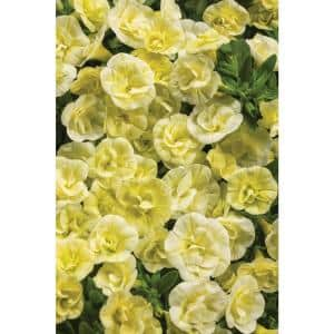 4.25 in. Grande Yellow Flowers Superbells Double Chiffon Calibrachoa Live Plant (8-Pack)