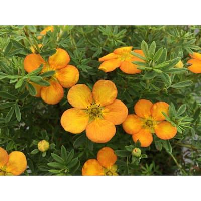 4 in. qt. Bella Sol Potentilla Live Shrub, Rich Orange Flowers