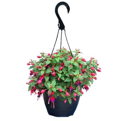 11 in. Fuchsia Annual Hanging Basket with Vibrant Pink and Purple Blooms