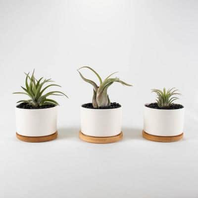 Air Plant Trio (Tillandsias) - Live Plants in 3.3 in. Round White Color Ceramic Pot Set w/ White Stone (3-Pack)