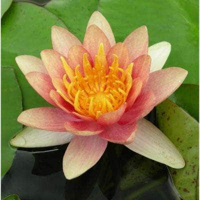 Premium Series - Water Lily Sioux - Kit